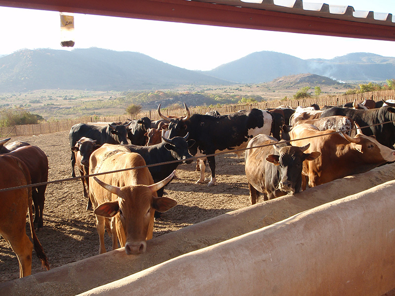 Mozbife Feedlot